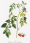 Alexander von Humboldt und die botanische Erforschung Amerikas. Bild 2
