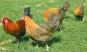 Hühner - Prachtvolles Federvieh Bild 2