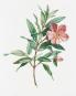 Alexander von Humboldt und die botanische Erforschung Amerikas. Bild 3