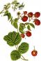 Jacob Sturm. Die Flora von Deutschland. Bild 5
