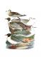 Naturgeschichte der Vögel Mitteleuropas. Bild 5